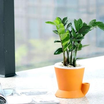 金钱树小盆栽 办公室室内盆景创意绿植 招财室内水培植物(橙斗款)